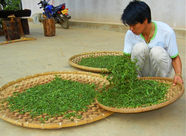 Some teasing. Freshly harvested Jing Mai leaves