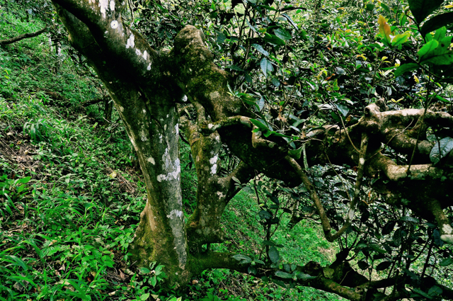 One of the beloved ancients that rest in the sub-tropic forests of Bulang Mountain