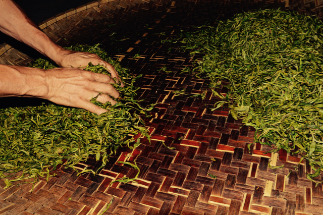Separating leaves into smaller bundles, the sort becomes a thing of soft touches that need the hands. No machine can sort like the hands.