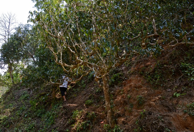 Dafa effortlessly moves up through ancient tea trees