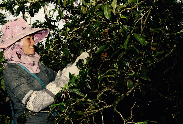 A Hani harvester balances within the arms of an ancient tea tree in southern Yunnan.