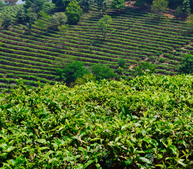 The horizon is a green series of rows of 'tai di' or young bushes near Nannuo Mountain, Xishuangbanna.
