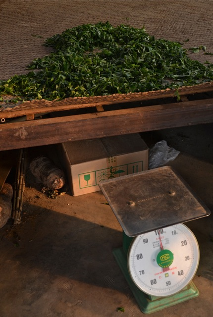 A starting point: fresh tea leaves and a scale.