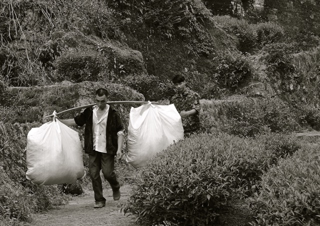 A man (under watch of a guard) brings precious leaves out of the Wuyishan Mountains...precious stuff!