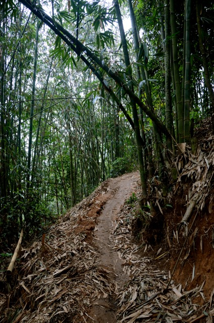 A tea pathway cuts through bamboo forests in Xishuangbanna
